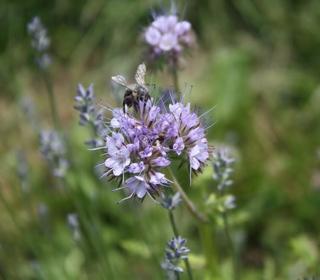 Natura - pszczoła na kwiatku
